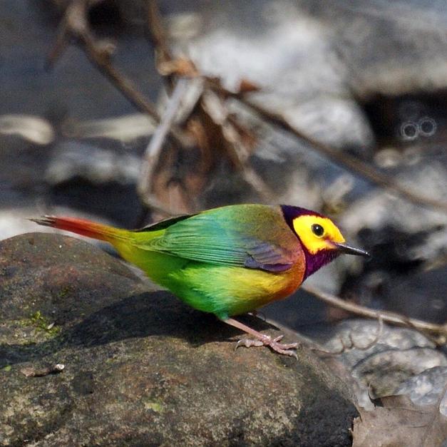 RainbowWarbler